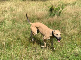 Bull whippet greyhound