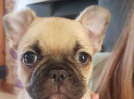 Frenchie x Pug