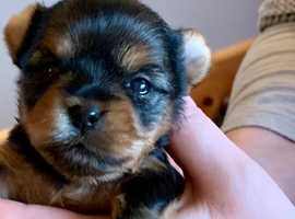 Tiny Steel Blue & Tan KC Registered Yorkshire Terriers Puppies