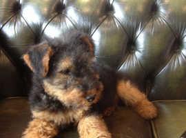 Welsh Terrier x Norfolk terrier puppies