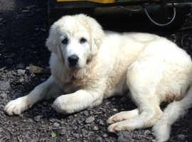 WANTED Male Tatra Polish Mountain sheep Dog