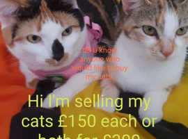 Selling two beautiful cats