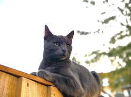 Missing Russian Blue