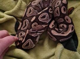 Female 3 year old Mojave Ball Python