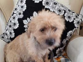 Cairn terrier cross pomeranian