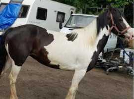 14h mare