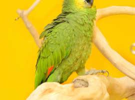 Baby Orange wings Amazon Talking parrot,30