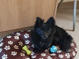 Pomerian x Chihuahua