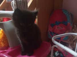 Gorgeous female black kitten. 8 weeks old