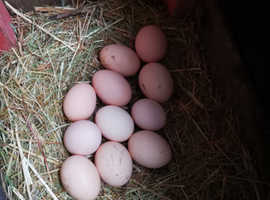 Gold partridge brahmas eggs for sale