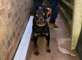 Beautiful Rottweiler for sale