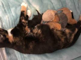 Ragdoll x domestic shorthair kittens
