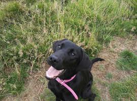 Female labrador 7 months