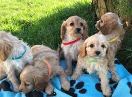 Curly Cavapoo puppies