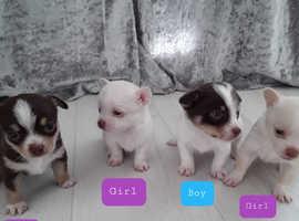 Jack russle puppy