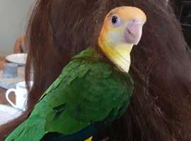 hand reared yellow thigh caique parrot