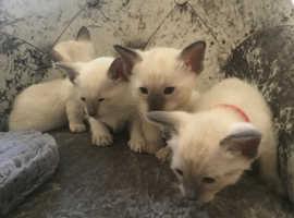 Gorgeous Siamese kittens x 4 boys
