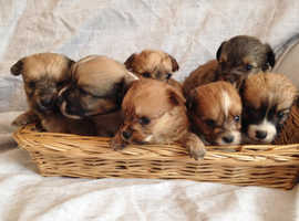 Terrier X Lhasa apso/Chihuahua Puppies