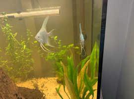Angel Fish | £5 PER FISH |