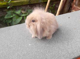 2 baby lionlop rabbits and hutch