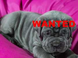 Wanted Neapolitan Mastiff that requires a Forever Loving home