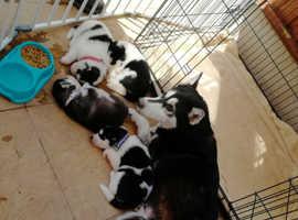 Huskita pups