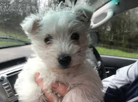 West highland terriers puppies