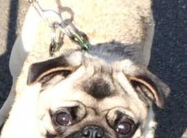 K C registered lovely little girl pug for sale