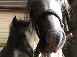 Lovely wpb mare & filly foal