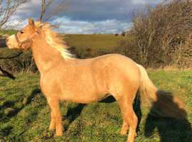 Section A mare for sale
