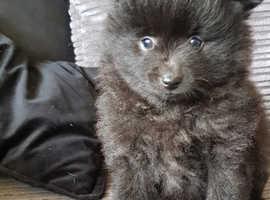 beautiful  pom puppies