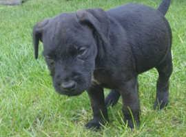 1 male patterdale terrier left