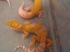Female Mack tangerine tremper het eclipse leopard gecko