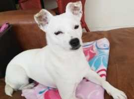 lovely freindly half jack russell female dog