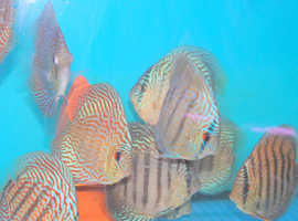 Royal Blue Discus fish 2.5 ins.