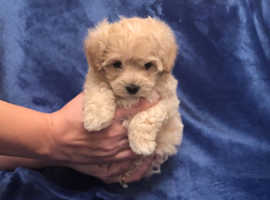 Stunning rare silver and honey apricot maltese x poodle maltipoo puppies