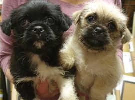 Pug x Bichon Frise Puppies