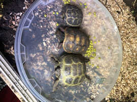 Different sized tortoises for sale