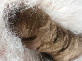 Red Miniature F1BB Labradoodle Puppies