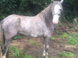 2 yo welsh c type filly
