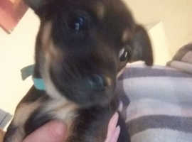 Two beautiful Jack Russell cross Chihuahua puppies