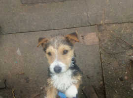 A lovely lakeland terrier x jack for sale looking.for a loving.home
