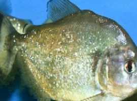gold piranha