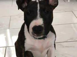 KC Registered  English Bull Terrier