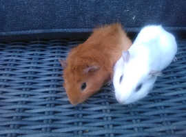 Baby Guinea pigs females