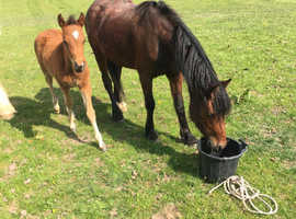 Stunning caspian type mare with foal at foot.
