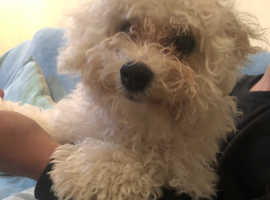 Bichon Frise- Looking for a forever home