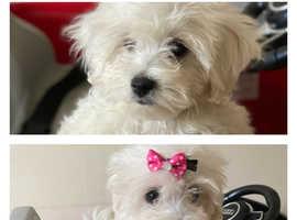 Full MALTESE puppies! 2 girls