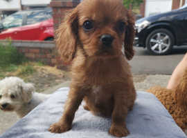 Cavalier King Charles Ready now