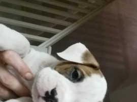 ChunkyBoxer cross Alapaha bulldog puppies,fully vaccinated